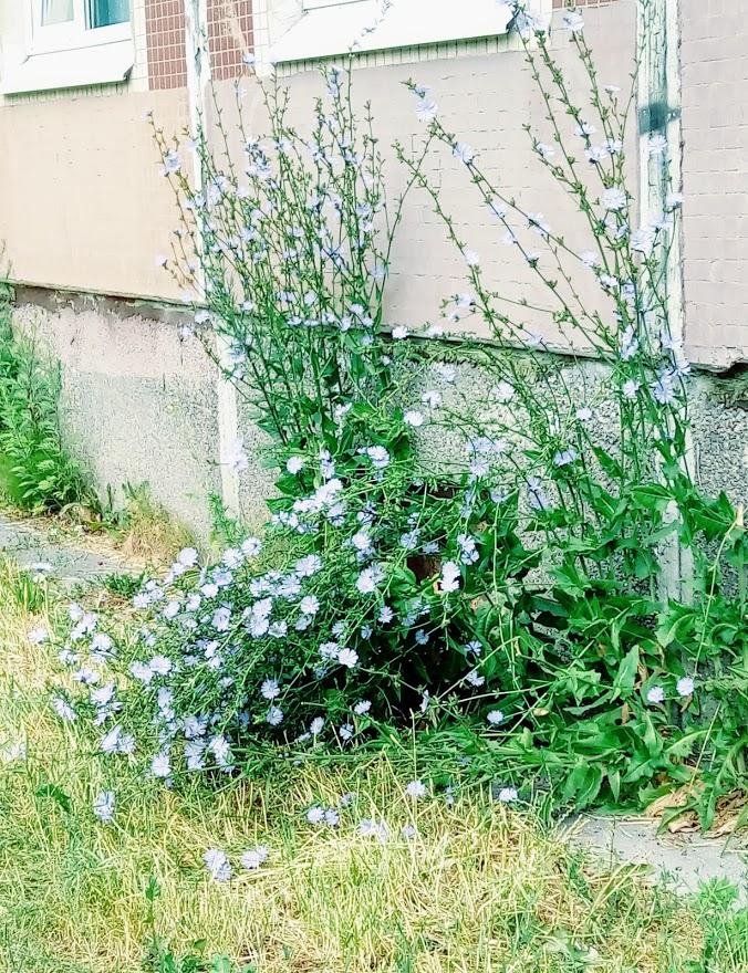 Везде зацвёл цикорий. До чего же хороши эти яркие голубые цветочки. Очень люблю их, а ещё люблю напиток из корней цикория.