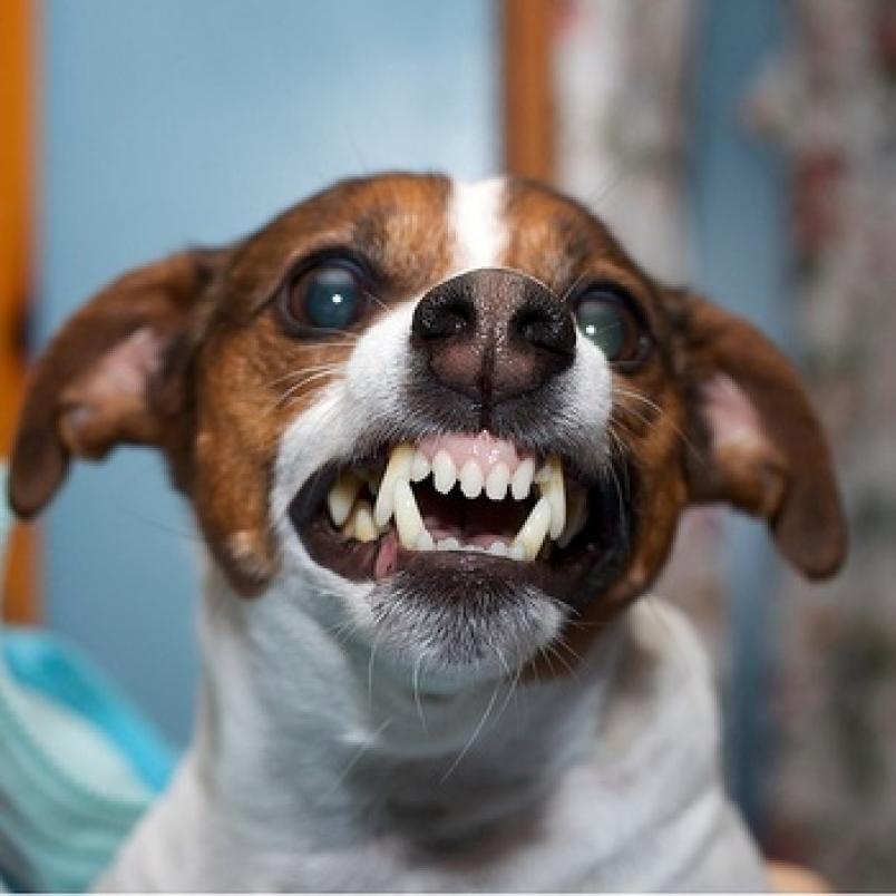 картинки маленьких злых собак засушенные цветы могут