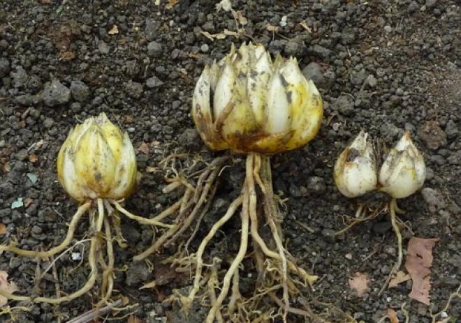 луковицы лилий