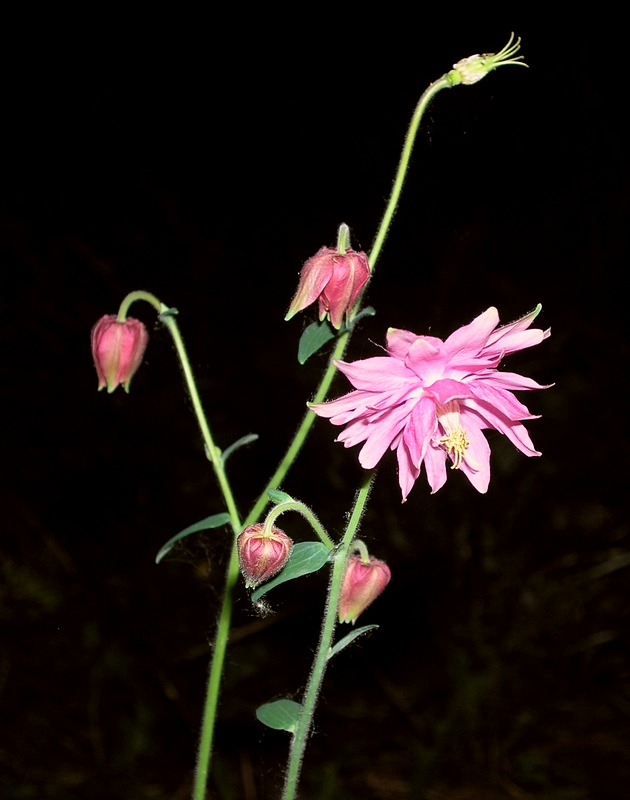 водосбор махровый розовый 2