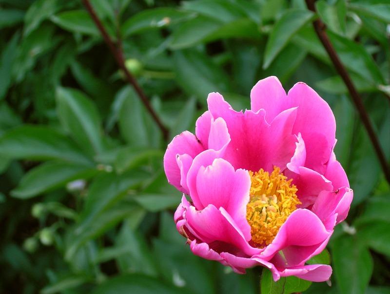 цветник пионы 5