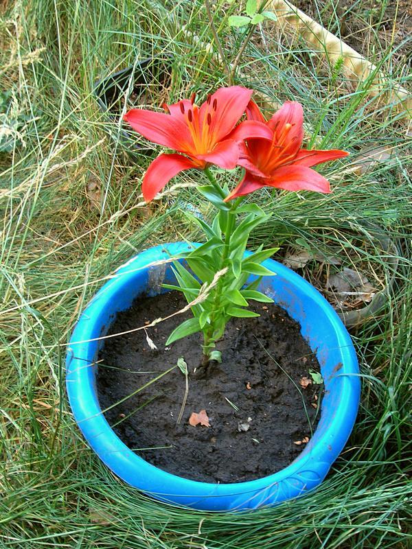 красная лилия 2