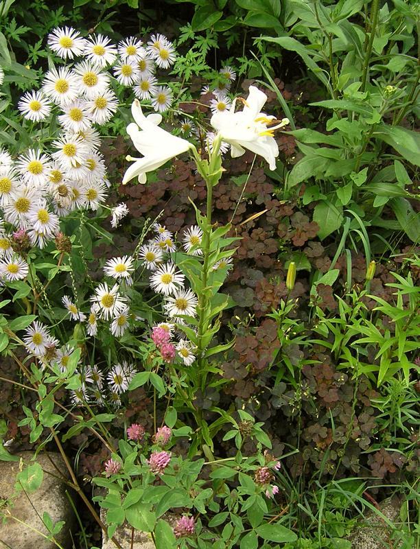 лилия белая 2