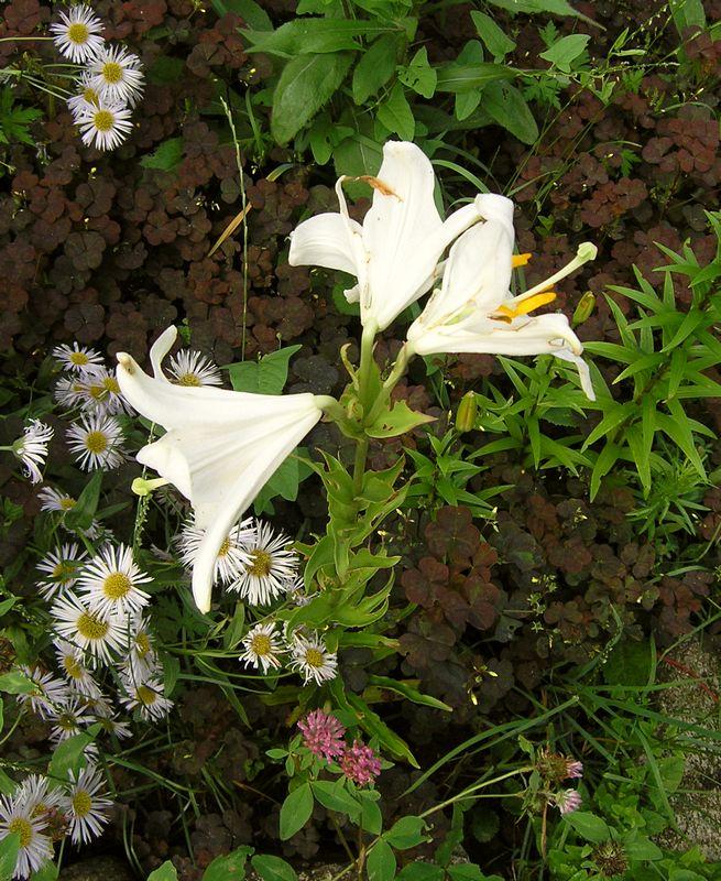 лилия белая 3