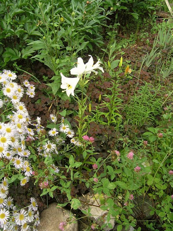 лилия белая 4
