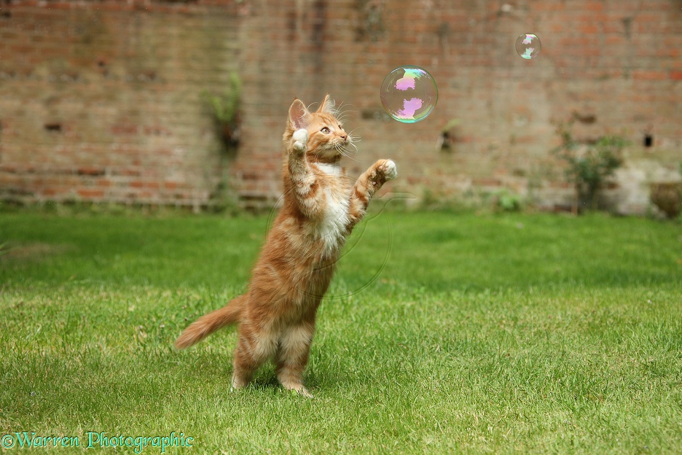 26627-Ginger-kitten-swiping-at-a-soap-bubble