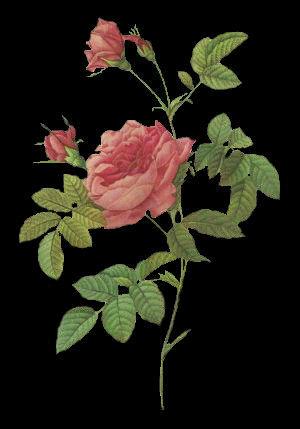 Rosa 'Imperatrice Josephine'.jpg