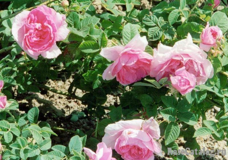 Розы Императрица Жозефина.jpg