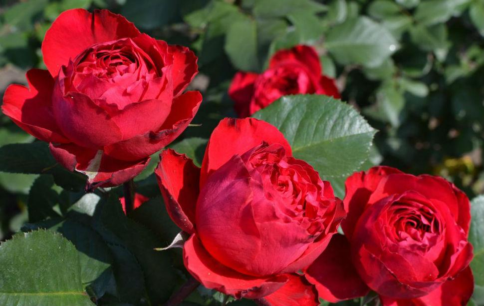 Розы Травиата.jpg