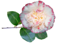 camellia 2.png