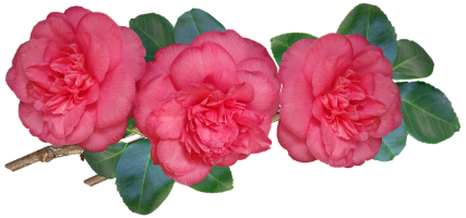 camellias-2.png