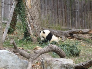 Panda eating little branch