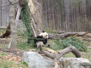 Panda starting to eat big branch