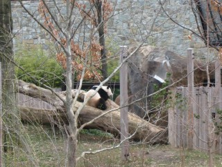 Other panda hanging out