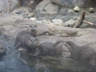 Asian small-clawed otters posing shamelessly