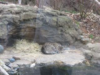 Sleeping fishing cat