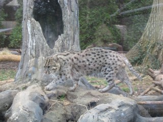 Fishing cat on the prowl