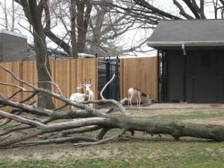 Pretty Speke's gazelle
