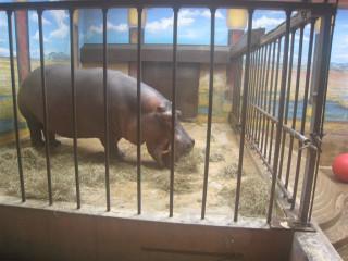 Hippos have really big teeth