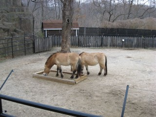 Przewalski's horses, only living wild species of horse