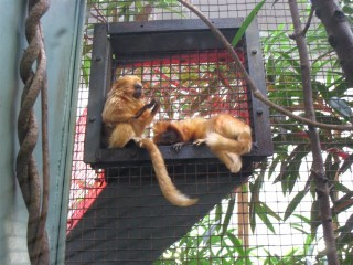 A golden lion tamarin despairs of life