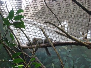 Northern tree shrews
