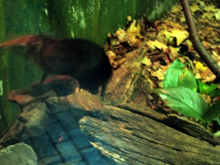 Highly active black and rufous giant elephant-shrew
