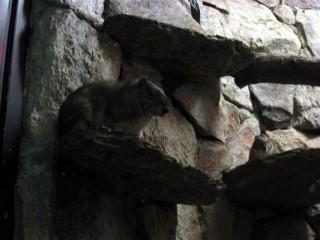 Smug-looking rock cavy