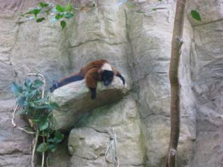 Abject ruffed lemur