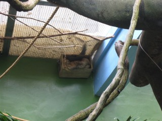 Two-toed sloth in a box!