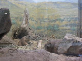 Emphatic prairie dog