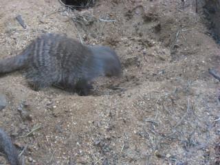 Energetically-digging banded mongoose