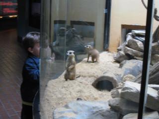 Meerkats saying hi to small child