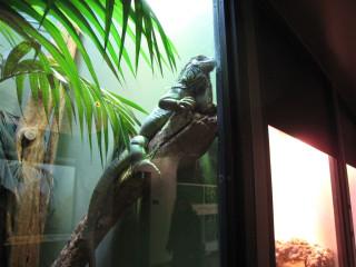 Not-actually-stuffed iguana