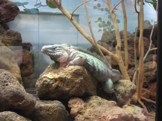 Grand Cayman iguana