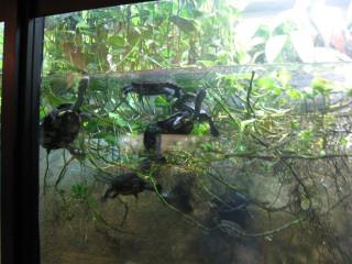 Australian snake-necked turtles