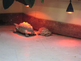Leopard tortoises under heat lamp
