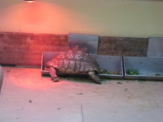 Leopard tortoise in the food tray