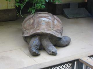 Very sad Aldabra tortoise