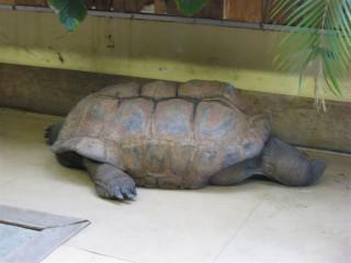 Another sad Aldabra tortoise