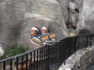 Imperturbable mandarin ducks