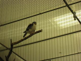 Juvenile pygmy falcon