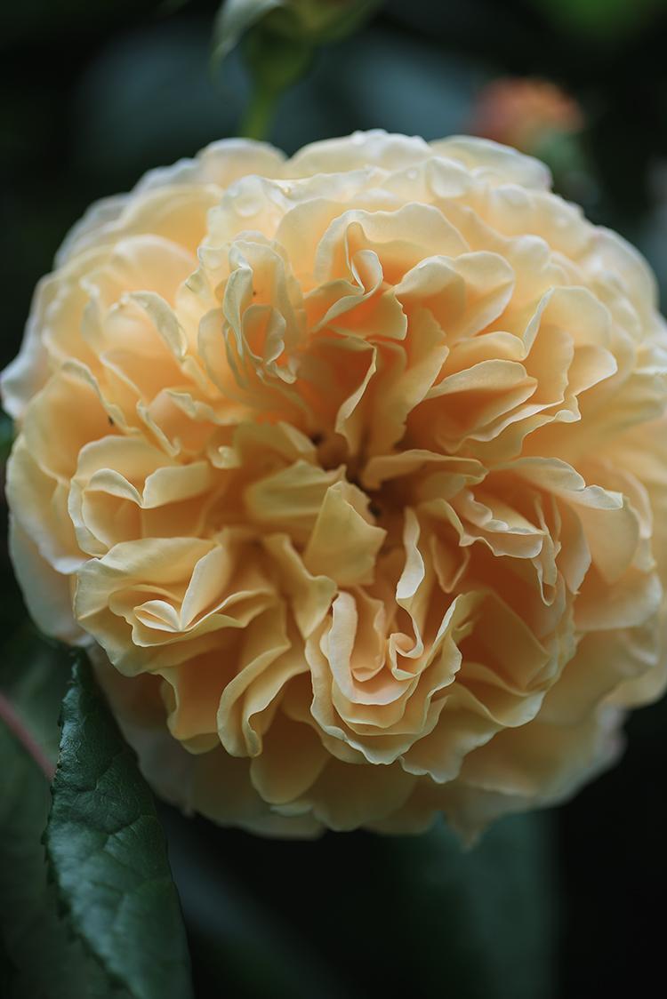 'Crown Princess Margareta'