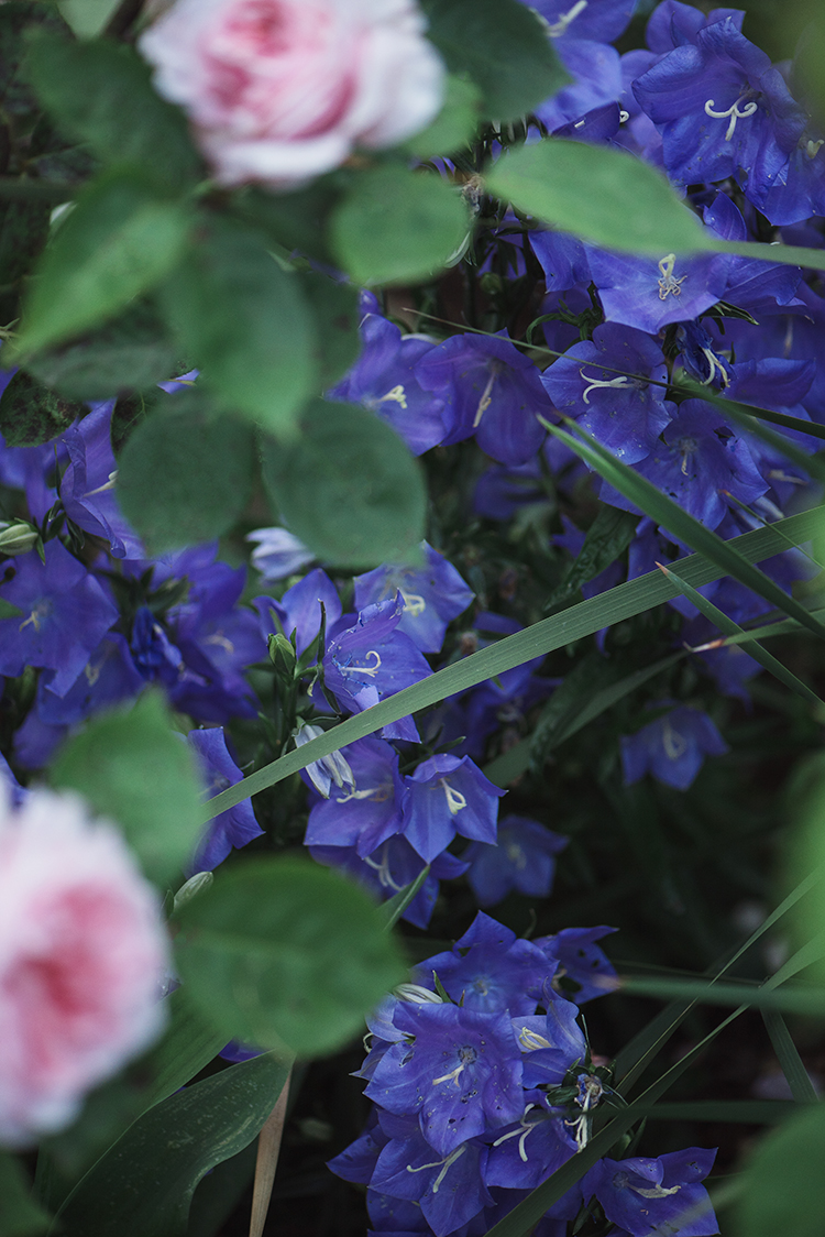 Campanula persicifolia 'Grandiflora'