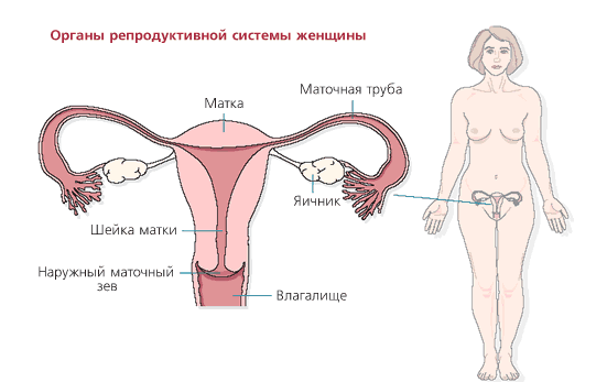 Reproduktivie_sievietes_organi
