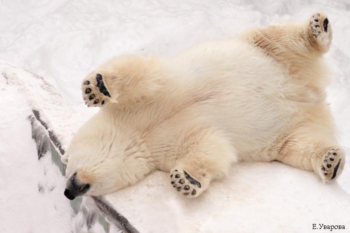 Polar bear ass crack