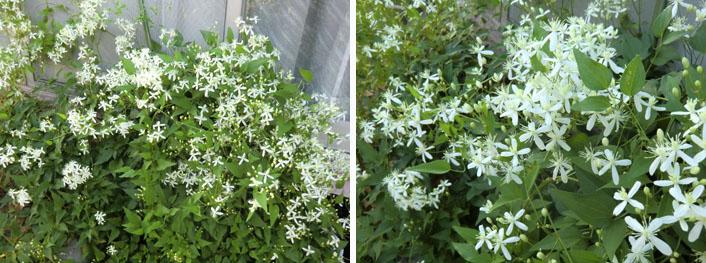 庭の白い花