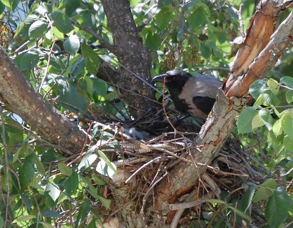 crow1