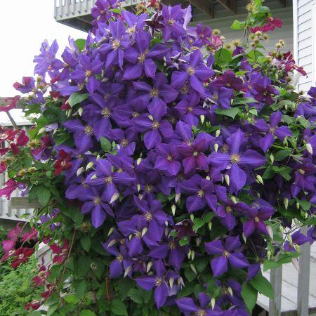 Вьющиеся растения клитория