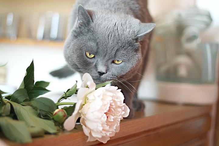 Кот в пионах